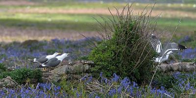 British Lesser Black-backed Gull  - Larus fuscus graellsii - colony