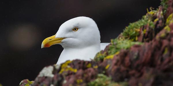 The Lesser Black-backed Gulls of Skokholm