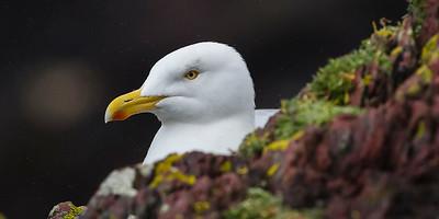 British Lesser Black-backed Gull  - Larus fuscus graellsii - breeding