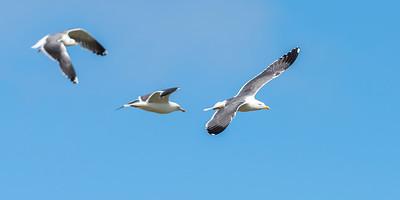 British Lesser Black-backed Gulls  - Larus fuscus graellsii