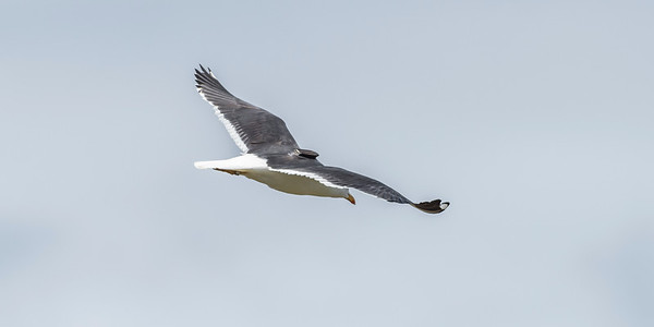 Lesser Black-backed Gull with a GPS transmitter on the back