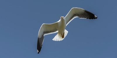 British Lesser Black-backed Gull  - Larus fuscus graellsii