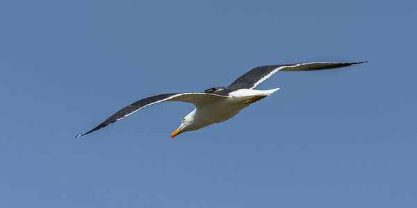 Lesser Black-backed Gull with a GPS transmitter on the back, as part of a BTO investigation,