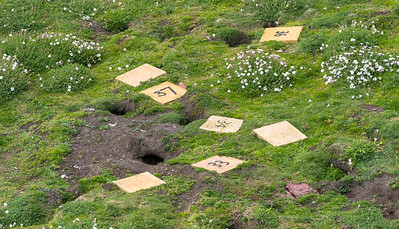 Manx Shearwater, nesting holes with numbered plates covering the nest.