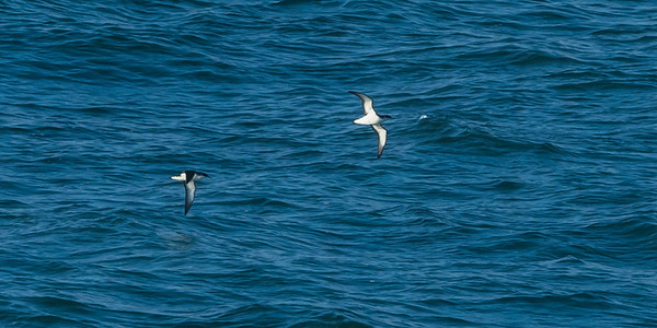 Manx Shearwaters coming close to Skokholm when the evening is beginning.