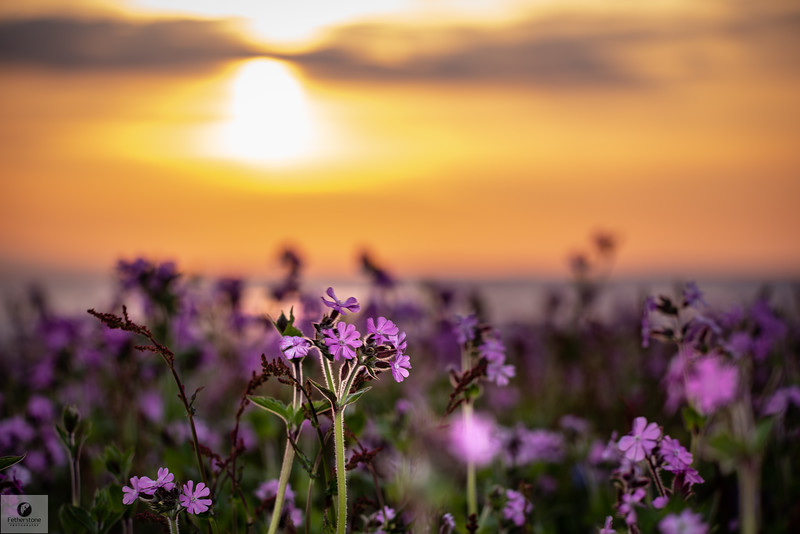 Campion Sunrise Skomer