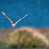 Short Eared Owl hunting for voles