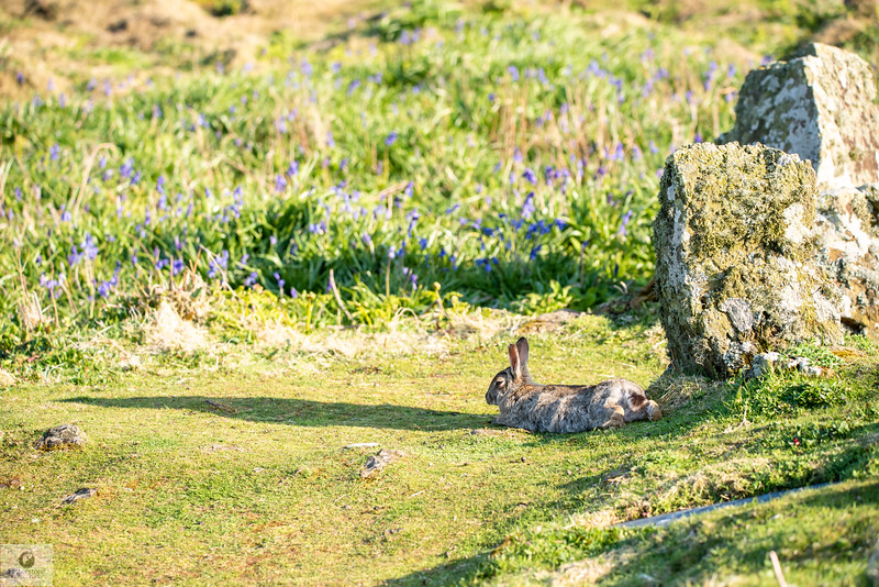 Skomer Rabbit
