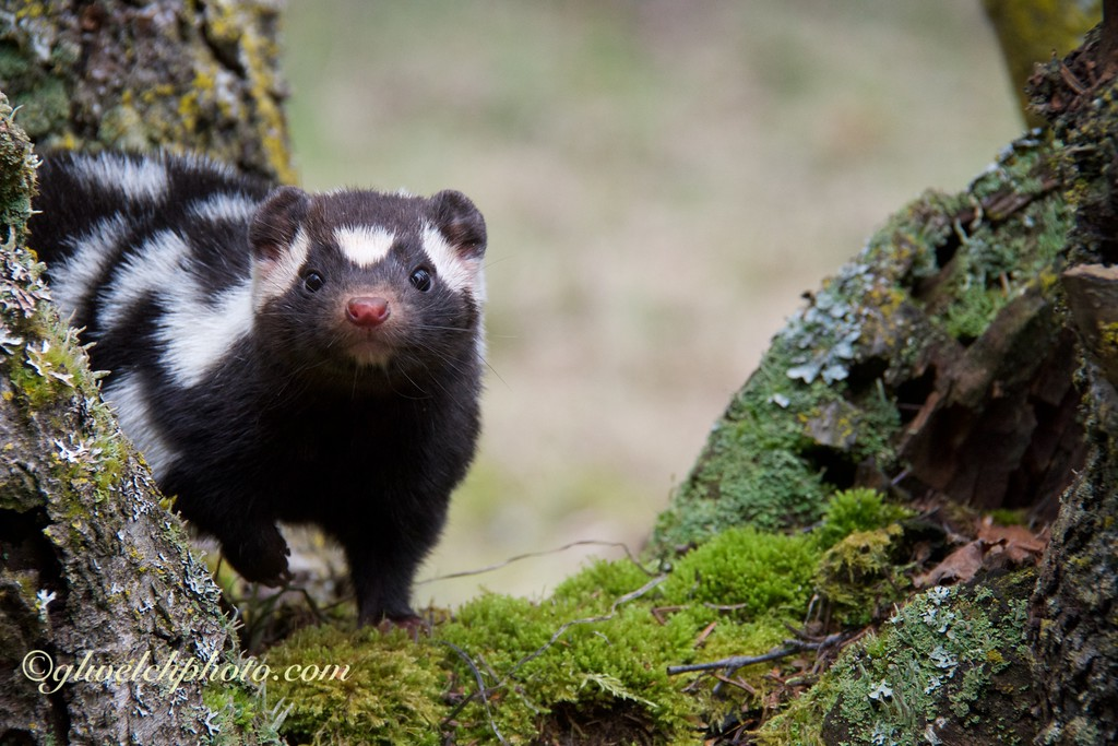 Spotted Skunk in Tree Stump