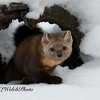 Pine Martin in Stump during winter