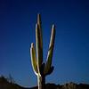 Celestial Saguaro