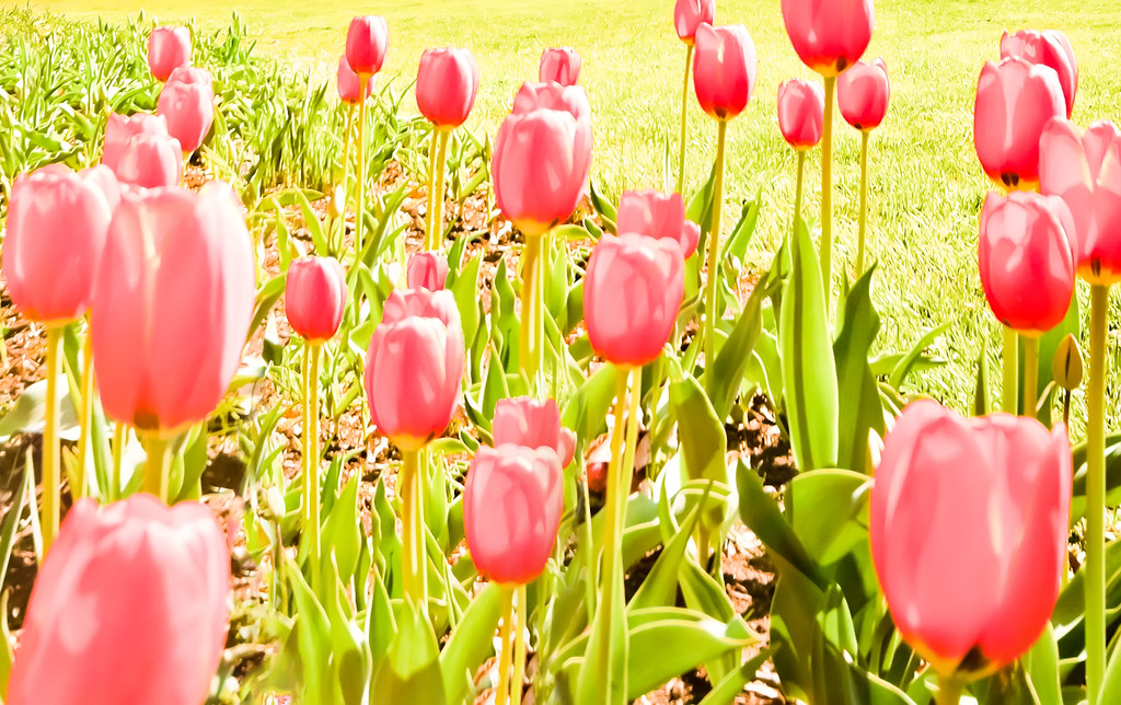Halcyon Days<br /> Tulips warm in the mountain sun.