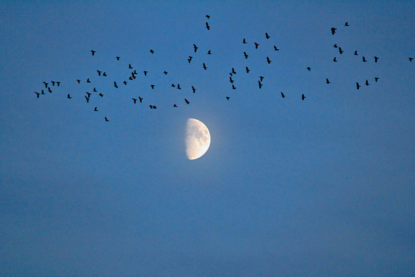 moon and birds