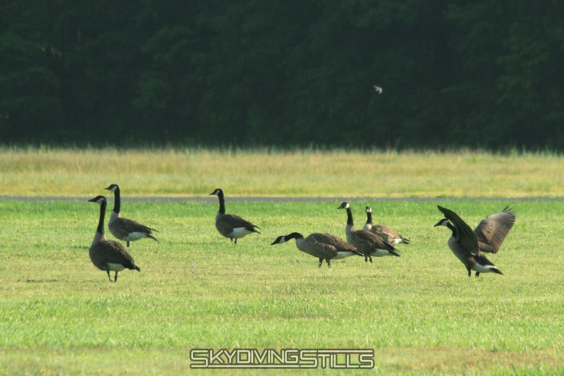 Geese. 8/10/08