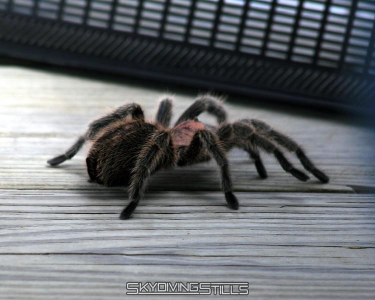 Pet tarantula got loose. 5/24/08