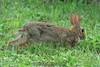 Rabbit runs for the corn. 7/27/08