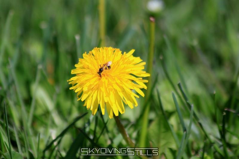 A little bee on a dandelion. 5/2/09