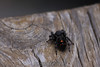 Did some research.  It's a juvenile Bold Jumping Spider, and it's harmless.  But I still hope to never see it again. 5/23/10