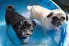 Pugs in a pool.