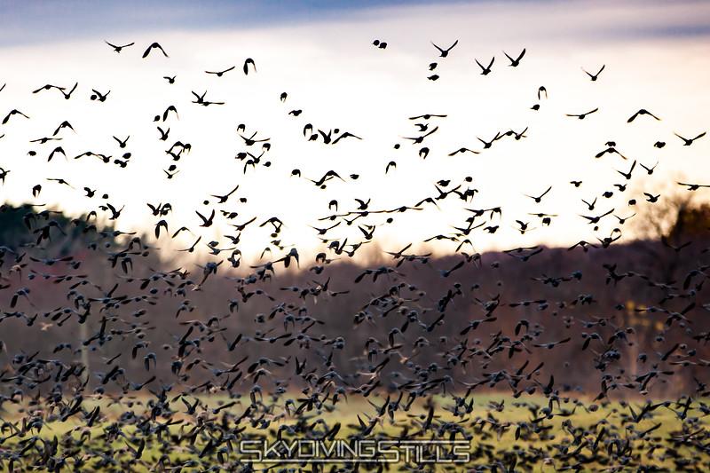 "Birds everywhere. <br><span class=""skyfilename"" style=""font-size:14px"">2016-11-05_skydive_cpi_0421</span>"