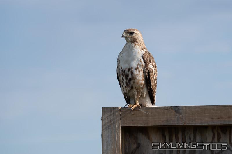 Hawk. Photo by Ethan.