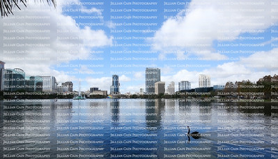 Black swan gliding under blue skies at Lake Eola in downtown Orlando, Florida.