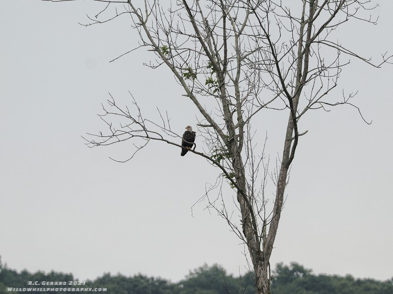 An Eagle at Deep River Landing.