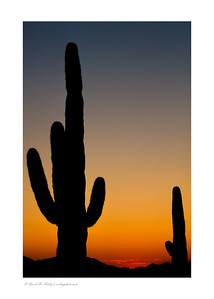 Saguaro Cactus Silhouette, Organ Pipe National Monument, AZ