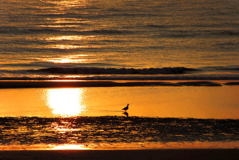Seagull foraging along the beach at low tide, The Netherlands