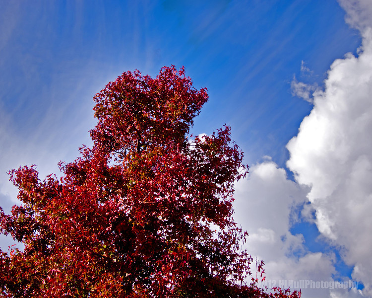 Liquidambar, commonly called sweetgum...<br /> <br /> The colorful red leaves of this Liquidambar tree were beautiful against the blue sky and puffy white clouds. I tried to capture some of that beauty in this shot.<br /> <br /> Critiques welcome...<br /> <br /> January 8, 2013