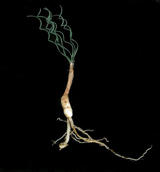Gethyllis species Namaqualand