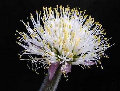 Haemanthus hirsutus ssp hirsutus