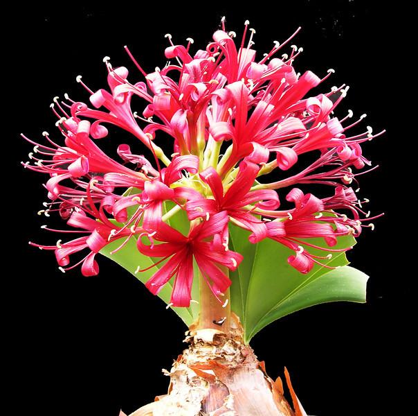 Ammorcharis coranica