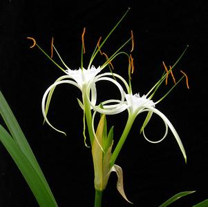 Habranthus acutifolia