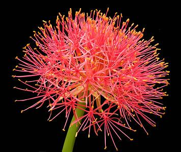 Scadoxus multiflorus ssp Katherine
