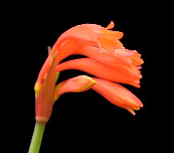 Cyrtanthus brachyschypus