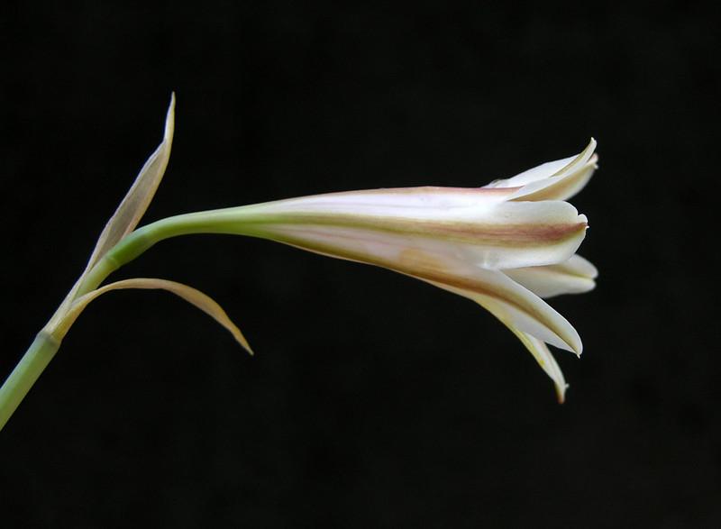 Cyrtanthus clavatus