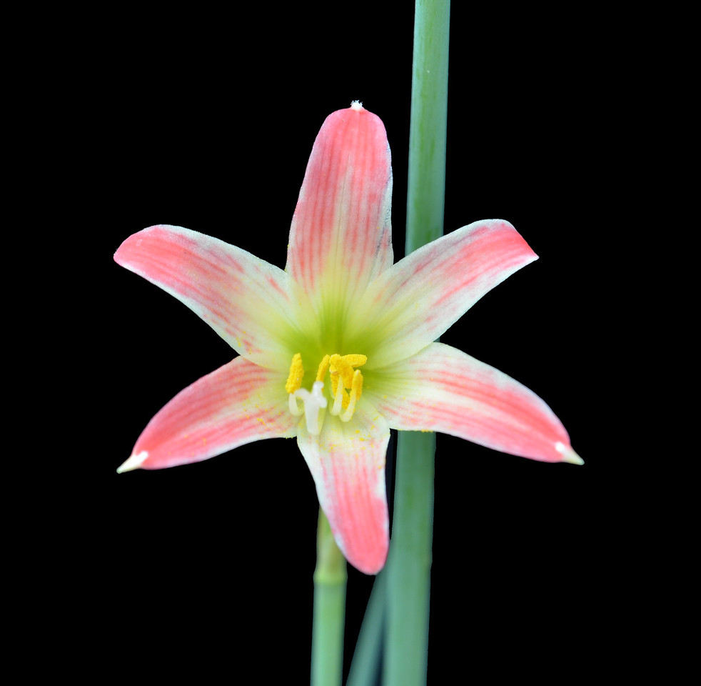 Rhodophiata chilensis