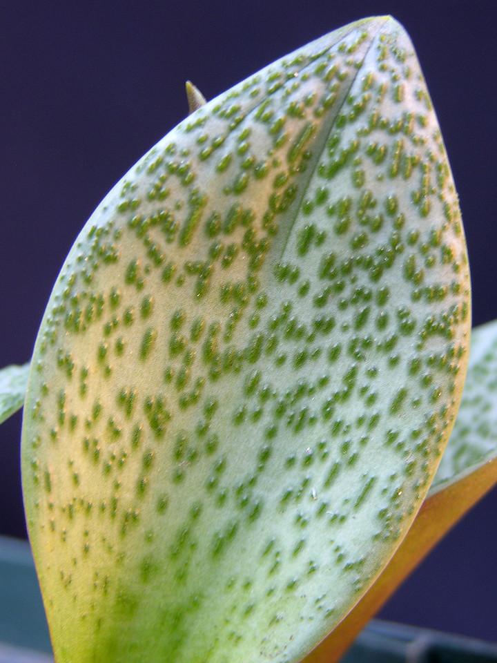 Massonia jasminiflora pustulate leaved form