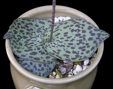 Drimiopsis dolmiticus