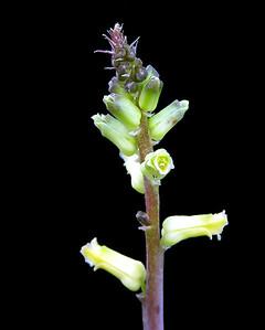 Lachenalia fitulosa