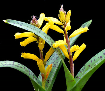Lachenalia alooides Yellow Form