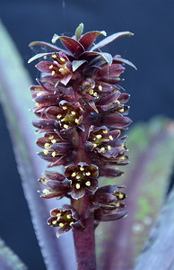 Eucomis Dark Star