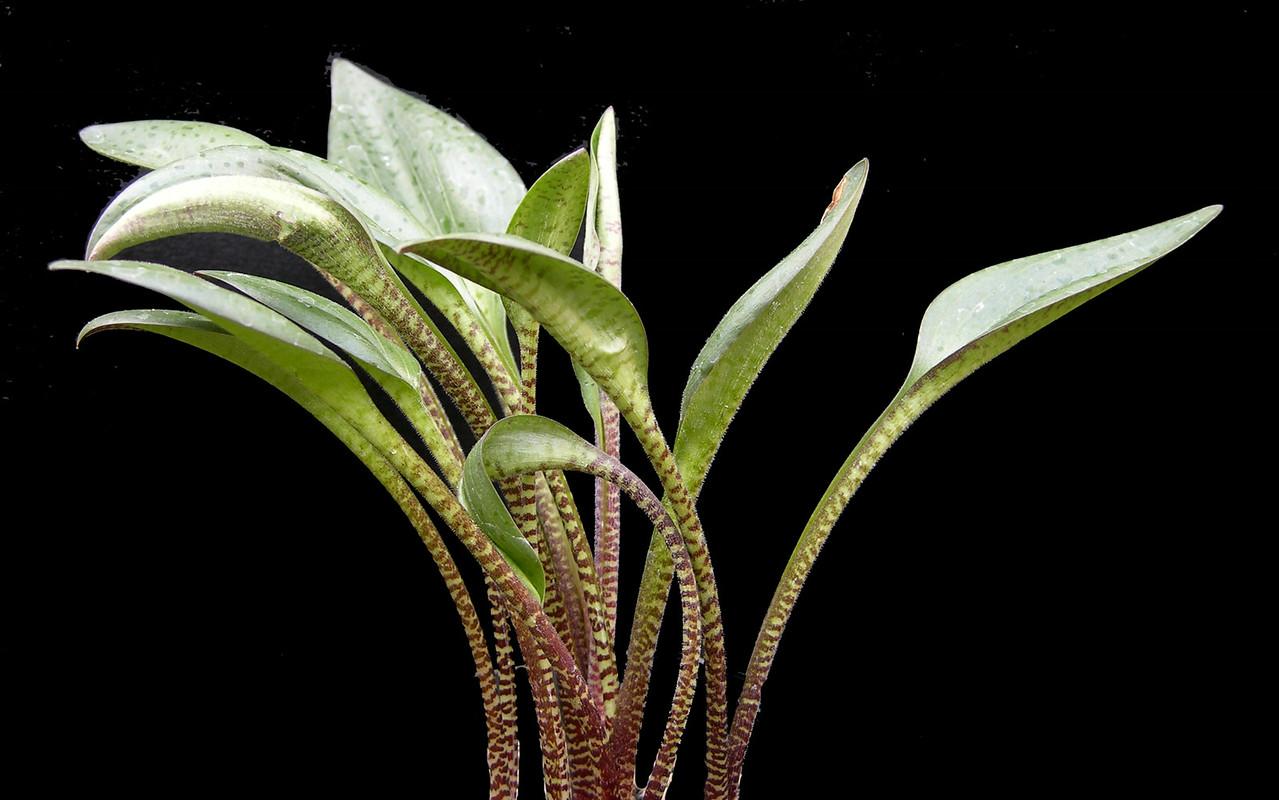 Drimiopsis lineociliata