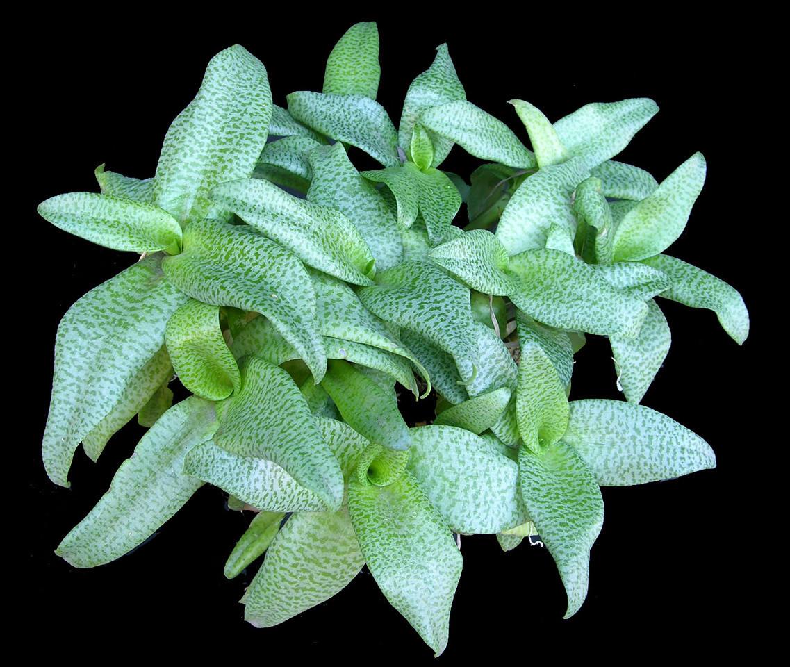 Ledebouria paucifolia