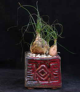 Albuca species MV 4424