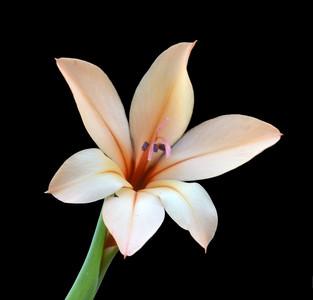 Gladiolus miniatus