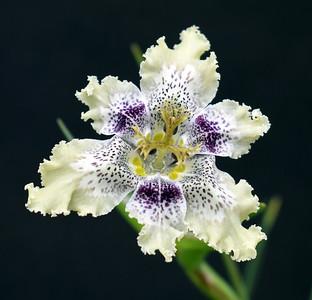 Ferraria densepunctulata