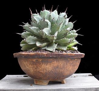 Agave potatorum cv Cubic