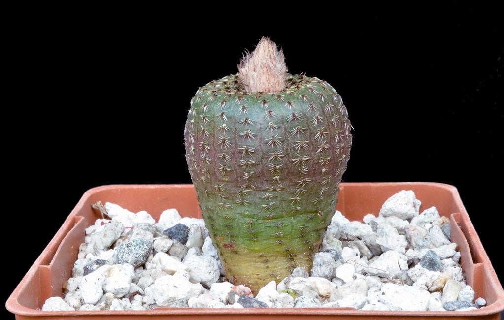 Frailea cataphracta